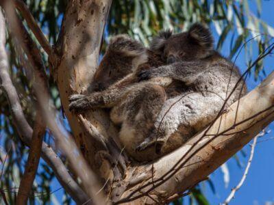 Koalas beim Mittagsschlaf