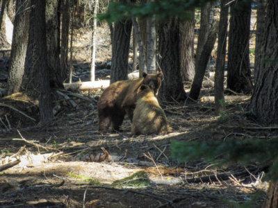 Bären im Yosemite National Park